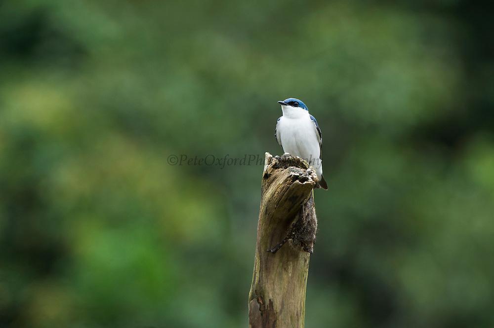 White-winged Swallow (Tachycineta albiventer) & Long-nosed Bat (Rhynchonycteris naso)<br /> Yasuni National Park, Amazon Rainforest<br /> ECUADOR. South America<br /> HABITAT & RANGE: Often around water but up to 500m. Colombia, Ecuador, Peru, Guianas, Venezuela to n. Argentina.