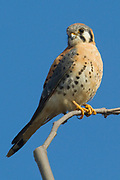 American Kestrel (Falco sparverius) Back Bay Reserve, California