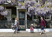 © Licensed to London News Pictures. 26/05/2013. London, UK People walk past a house with a lovely display of laburnum hanging. People enjoy the warm Bank Holiday weather along the banks of the River Thames in West London today 26th May 2013. Photo credit : Stephen Simpson/LNP