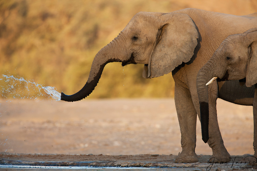 A female and calf desert-adapted elephant (Loxodonta africana) drink at a water hole ,Skeleton Coast, Namibia, Africa