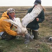 Denver Holt and Laura Phillips with a captured female snowy owl (Bubo scandiacus). Barrow, Alaska