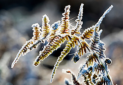 © Licensed to London News Pictures. 06/11/2017. London, UK.  Frost coated bracken at first light in Richmond Park. Parts of the UK are experiencing freezing temperatures today. Photo credit: Peter Macdiarmid/LNP