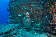 male Hawaiian monk seal, Neomonachus schauinslandi ( critically endangered endemic species ) at Vertical Awareness dive site, Lehua Rock, near Niihau, off Kauai, Hawaii ( Pacific Ocean )