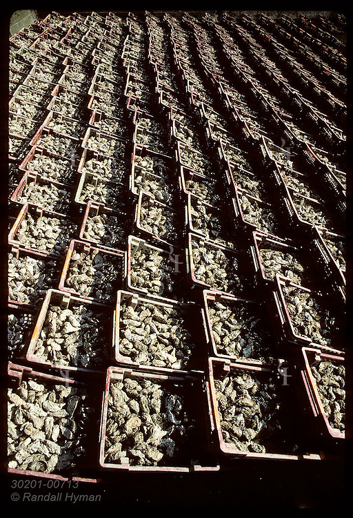 Rows of bins filled with Japanese oysters sit in cleaning basin that will be filled with water. France