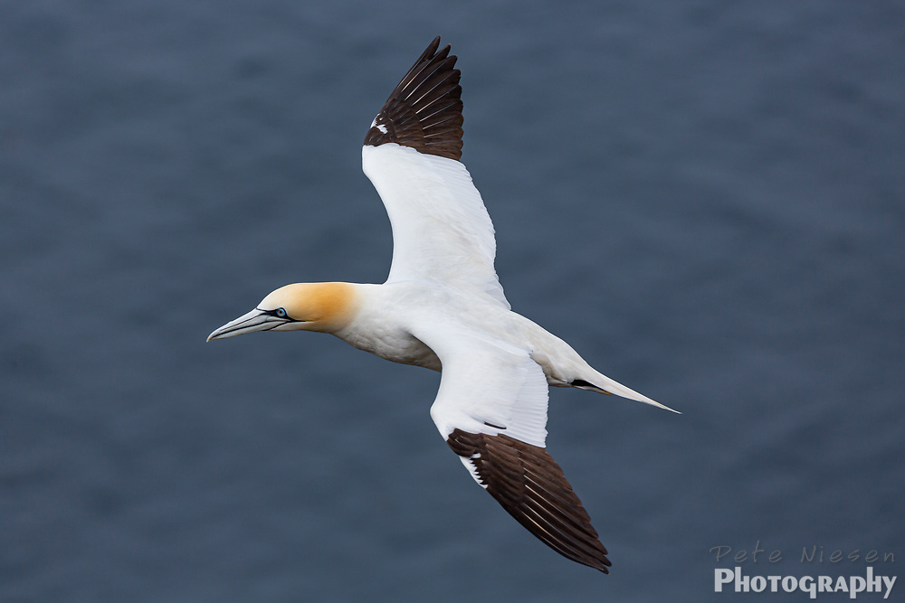 Close up view of gannet's, Morus bassanus, blue eyes as it soars above the ocean