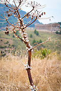 Live white snails clinging to a tree, behind are ancient ruins of Segesta, Sicily