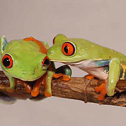 01482 The Red Eyed Tree Frog (Agalychnis callidyas) also known as Red Eyed Leaf Frog. Lives throughout Central America in lowland tropical forests, feeds on small invertebrates.  Captive Animal.