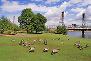 Canadian Geese and the Hawthorne Bridge on the Willamette River, Portland, Oregon