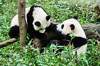 two Panda bears cubs playing Bifengxia base reserve Sichuan China