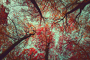 Illuminated scarlet red leaves on a tree - low angle view