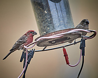 Male and Female House Finch eating sunflower seeds. Image taken with a Nikon D5 camera and 600 mm f/4 VR lens (ISO 1600, 600 mm, f/4, 1/800 sec).
