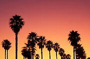 Silhouetted palm trees against orange and purple sky at sunset, Ventura, California