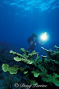 photographer and elkhorn coral, Acropora palmata, Molasses Reef, Florida Keys National Marine Sanctuary, Key Largo, Florida ( Western Atlantic Ocean )  MR 79