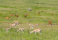 Thomson's Gazelles, Eudorcas thomsonii, Common Impalas, Aepyceros melampus melampus, and a Grant's Zebra, Equus quagga boehmi, grazing in Lake Nakuru National Park, Kenya