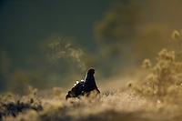 11.04.2009.Black Grouse (Tetrao tetrix) displaying on a bog. Lekking behaviour. Courting. Expiring warm air on a cold morning.  Frost..Bergslagen, Sweden.