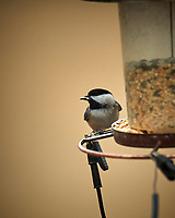 Black-capped Chickadee. Image taken with a Nikon D5 camera and 600 mm f/4 VR lens (ISO 560, 600 mm, f/4, 1/1250 sec)