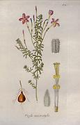 Woodsorrel (Oxidalis macrostylis). Illustration from 'Oxalis Monographia iconibus illustrata' by Nikolaus Joseph Jacquin (1797-1798). published 1794