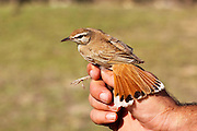 bird ringing. Rufous Bush Robin (Cercotrichas galactotes), also called the Rufous-tailed Scrub Robin or Rufous Bush Chat, Photographed in Israel
