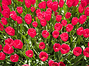 "03 MAY 2020 - PELLA, IOWA: Blooming tulips in a park in downtown Pella, Iowa. Pella is a small community in central Iowa. The town's economy is driven by tourism and the Tulip Festival, the largest tourist event of the year, has already by canceled for 2020 because of fears that the festival could become a COVID-19 (Coronavirus/SARS-CoV-2) ""Super Spreader"". The Governor of Iowa reopened 77 of Iowa's 99 counties. The counties that were reopened have reported low incidences of Coronavirus. Marion County, where Pella is located, has reported 12 cases of Coronavirus. There have been 9,169 confirmed cases of Coronavirus in Iowa, including 1,476 cases in the Des Moines area, less than one hour away. Many people from Des Moines drove to Pella this weekend to see the tulips for which the town is famous.       PHOTO BY JACK KURTZ"