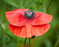 Red Poppy. Image taken with a Nikon N1V3 camera and 70-300 mm VR lens