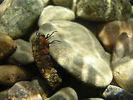 Caddis Fly<br />