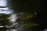 Brown trout (Salmo trutta), Sweden, Västra Götaland, Götene, Dala river. Sweden