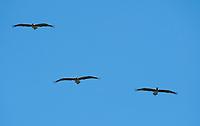 Brown Pelicans, Pelecanus occidentalis, flying over Bodega Bay, California