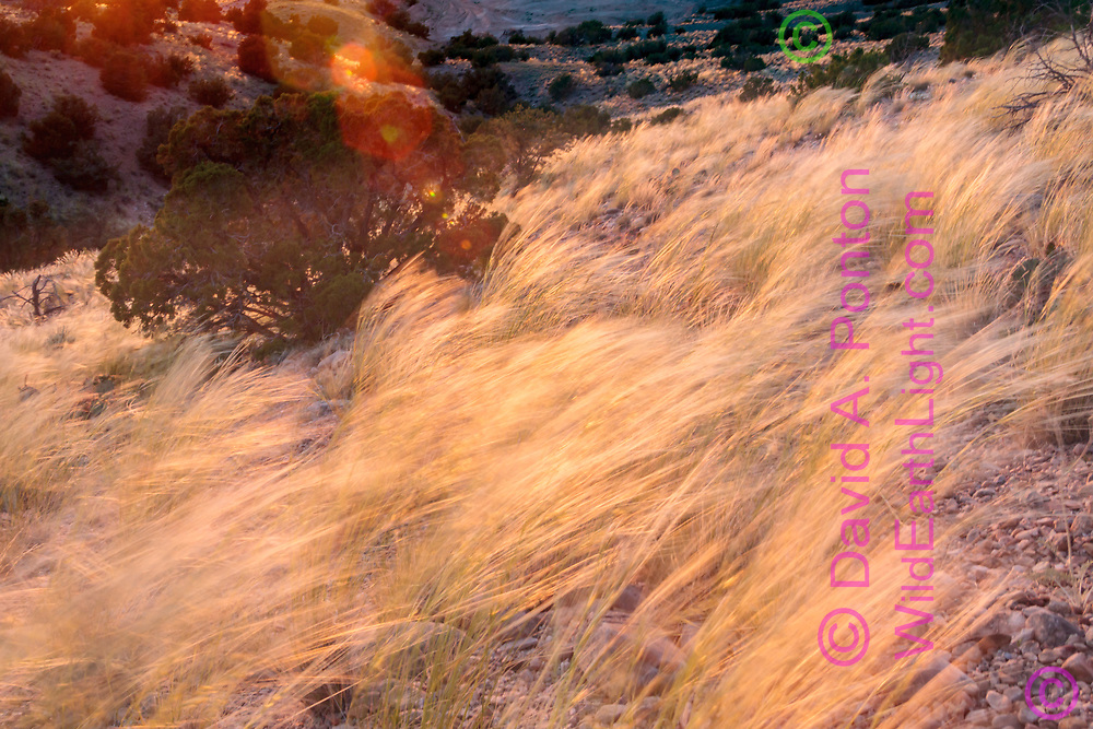 Wild grass is bent over by wind, forming a directional pattern, pinon-juniper woodland, foothills on the west side of the Sandia Mountains, NM, © David A. Ponton