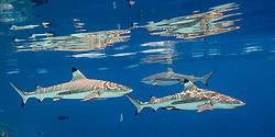 Blacktip Reef Sharks, Carcharhinus melanopterus, patrol near the glassy surface, accompanied by several needlefish. Tetamanu, Fakarava, Tuamotu Archipelago, French Polynesia, Pacific Ocean