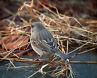 Dark-eyed Junco. Image taken with a Nikon D5 camera and 600 mm f/4 lens (ISO 1600, 600 mm, f/4, 1/320 sec)