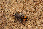 Flightless wasp or Velvet Ant Namib Desert sand dune; shot digital: 14,03inch x 9,317inch at 300 Pixel\inch