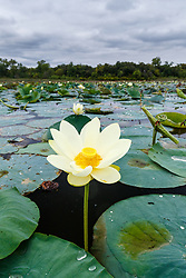 "Flowering American lotus and Greer Island in Lake Worth, Fort Worth Nature Center, Fort Worth, Texas USA. Greer Island is the home of the famed Lake Worth Monster, or ""Goatman""."