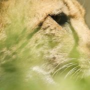 Profile shot through the bushes of a cheetah.