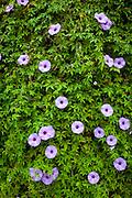Koali'ai, Morning glory flower, Ipomoea cairica, Maui Nui Botanical Gardens, Kahului, Maui, Hawaii