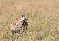 A Spotted Hyena, Crocuta crocuta, carries the carcas of a Thomson's Gazelle, Eudorcas thomsonii, after it was killed and partially eaten by a Cheetah, Acinonyx jubatus, and then picked over by a group of vultures in Serengeti National Park, Tanzania
