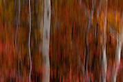 Abstract, artistic image of aspen trunks and fall foliage with motion blurs