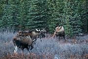 A bull Alaskan moose approaches a female during the autumn rut in Denali National Park, McKinley Park, Alaska.