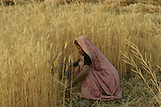 IND.MWdrv04.185.x..Mishri Yadav harvests wheat in Ahraura Village, Uttar Pradesh, India. Her family must pay half of the harvest to the owner of the land that they farm. They grow one planting of wheat and then rice during the rest of the year. Revisit with the family, 2004. The Yadavs were India's participants in Material World: A Global Family Portrait, 1994 (pages: 64-65), for which they took all of their possessions out of their house for a family-and-possessions-portrait. Work..