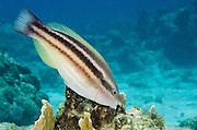 Princess Parrotfish Initial Phase (Scarus taeniopterus)<br /> BONAIRE, Netherlands Antilles, Caribbean<br /> HABITAT & DISTRIBUTION: Reefs<br /> Florida, Bahamas, Caribbean & Bermuda