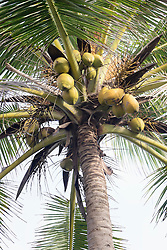 Low angle view of fresh coconuts hanging on palm tree, Tangalle, South Province, Sri Lanka