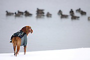 """SHOT 1/26/09 3:32:29 PM - Tanner, a four year old male Vizsla, runs and plays in the snow and cold at Rocky Mountain Lake Park in Denver, Co. one afternoon. Looking back as if to ask """"Can I please go in after them?"""". Vizslas are Hungarian pointers that are driven to hunt birds..(Photo by Marc Piscotty / © 2009)"""