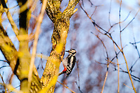Norwa, Stavanger. Great Spotted Woodpecker.