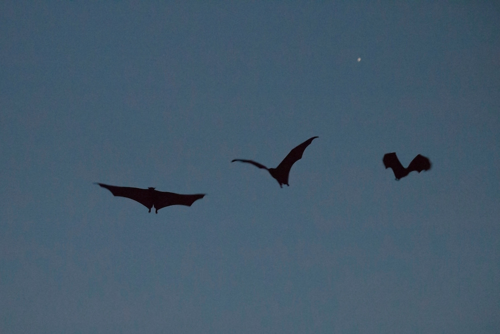 Three fruit bats fly from their roost as darkness falls, Pine Creek, Northern Territory, Australia.