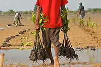 Planting of Rhizophora mangrove seedlings in a estuary in Bali at low tide.  This team of men, led by Mr. Rahim are from the Bali Forestry Department Section of Rehabilitation and Conservation of Mangroves.