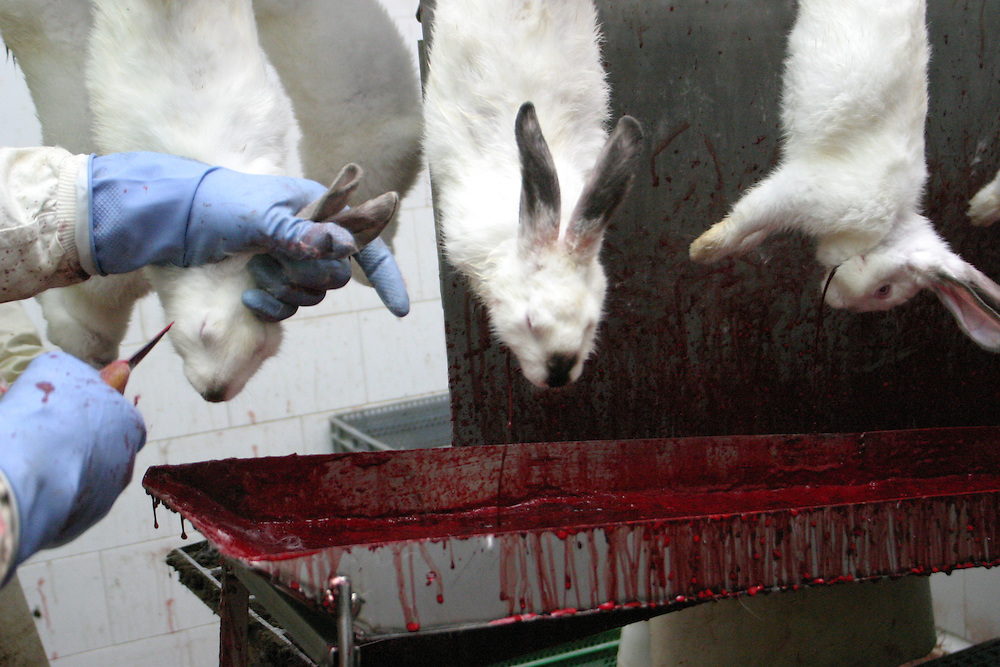 Rabbits being slaughtered, Europe. Hundreds of millions of rabbits are factory farmed and slaughtered for fur and meat every year.