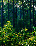 Southern pine forest with hardwood understory in Greene County north of Eutaw, Alabama.