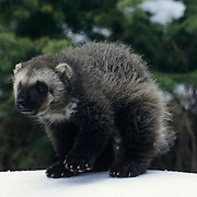 A young wolverine kit exploring around a den in snow during early spring. Rocky Mountains of Montana, Captive Animal