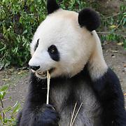 Panda feeding on bamboo at the San Diego Zoo, California.