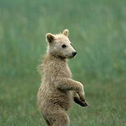 Alaskan Brown Bear, (Ursus middendorffi) Young cub standing. Alaskan Peninsula.