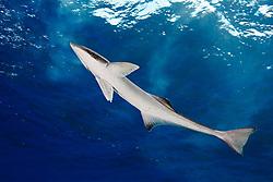 Sharksucker, Echeneis naucrates, West End, Grand Bahamas, Caribbean, Atlantic Ocean